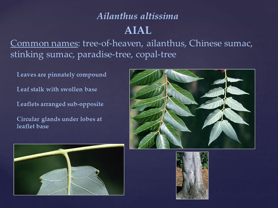 Ailanthus altissima AIAL Common names: tree-of-heaven, ailanthus, Chinese sumac, stinking sumac, paradise-tree, copal-tree Leaves are pinnately compound Leaf stalk with swollen base Leaflets arranged sub-opposite Circular glands under lobes at leaflet base