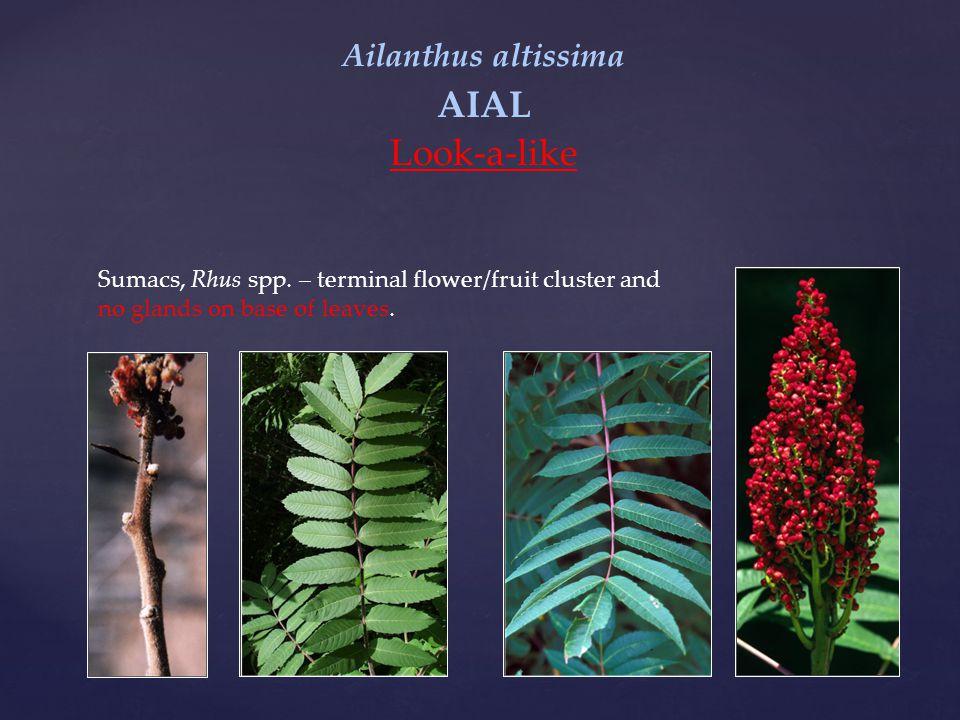 Ailanthus altissima AIAL Look-a-like Sumacs, Rhus spp.
