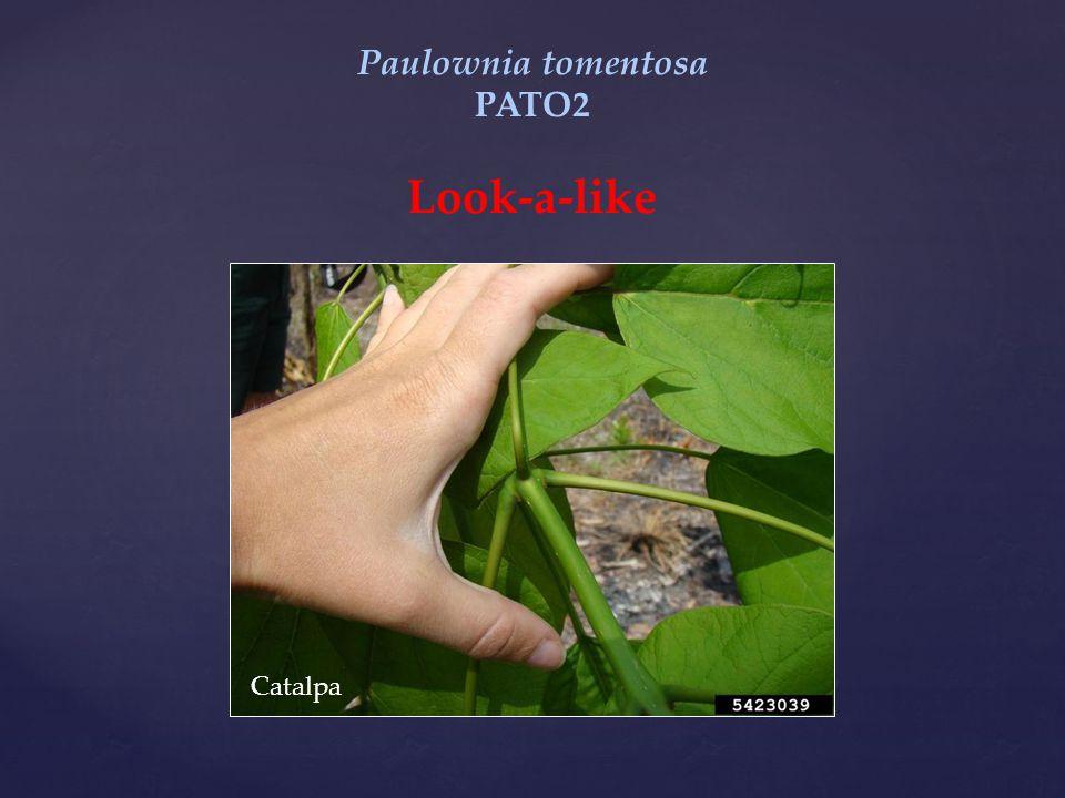 Paulownia tomentosa PATO2 Look-a-like Catalpa