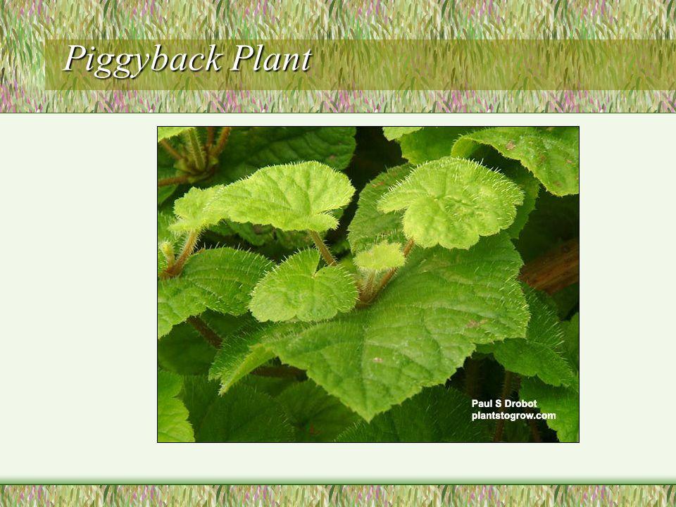 Piggyback Plant