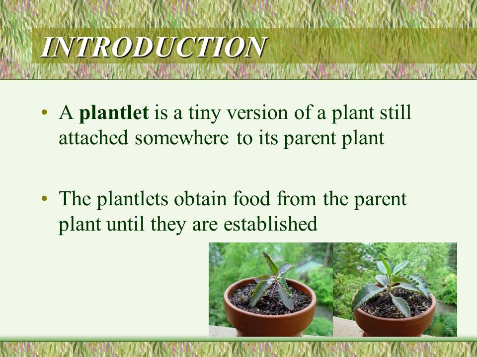 OBTAINING PLANTLETS Plantlets can be obtained by different methods: 1.production of plantlets from runners 2.production of leaf plantlets 3.production of plantlets from offsets