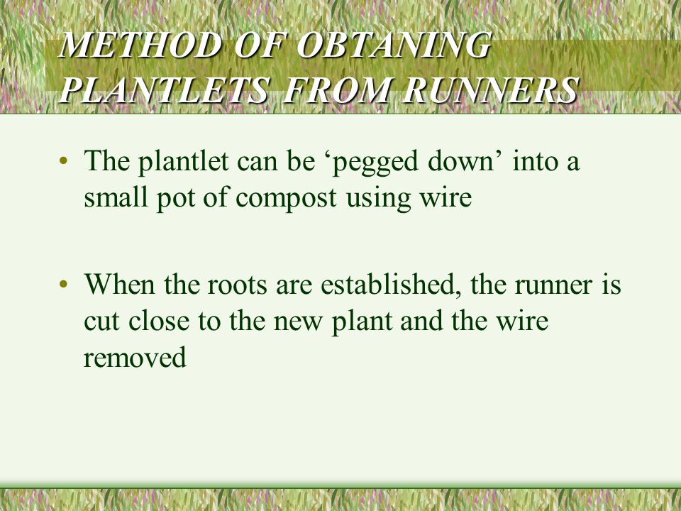 PRODUCTION OF PLANTLETS FROM RUNNERS