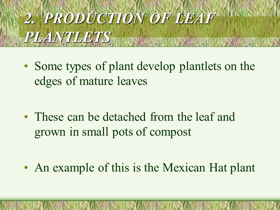 2. PRODUCTION OF LEAF PLANTLETS Some types of plant develop plantlets on the edges of mature leaves These can be detached from the leaf and grown in s
