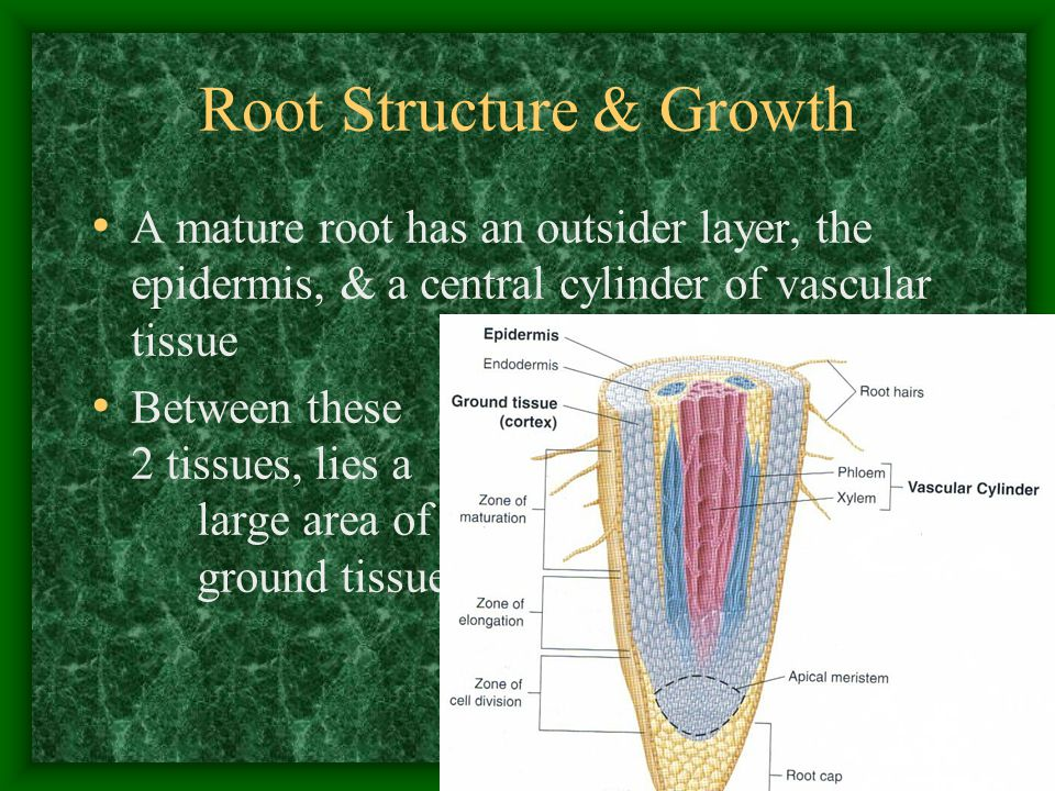 Root Structure & Growth A mature root has an outsider layer, the epidermis, & a central cylinder of vascular tissue Between these 2 tissues, lies a la