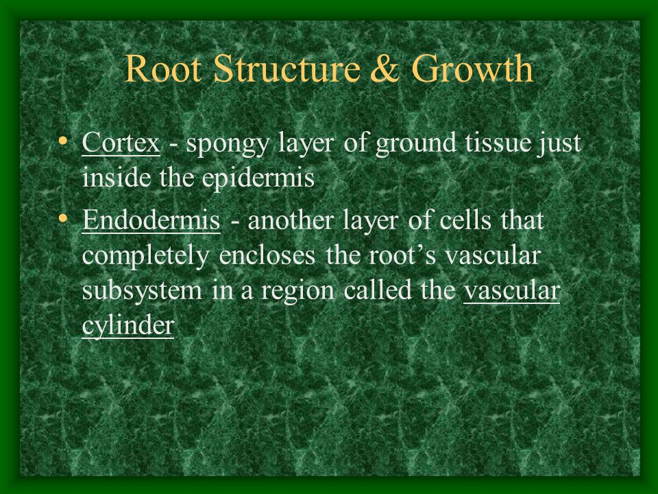 Root Structure & Growth Cortex - spongy layer of ground tissue just inside the epidermis Endodermis - another layer of cells that completely encloses