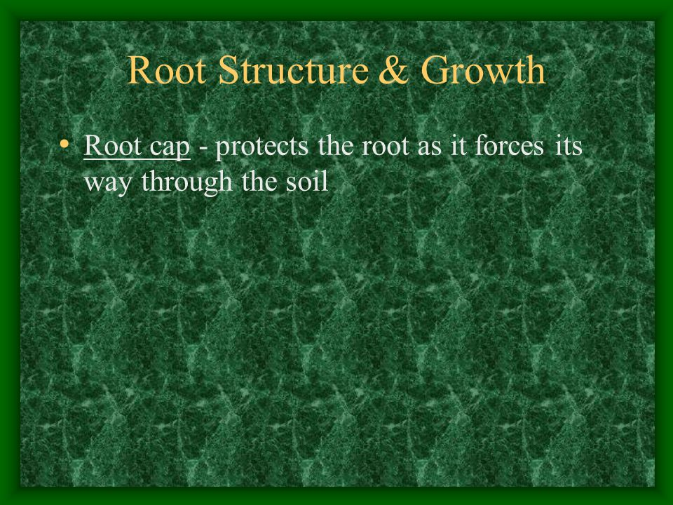 Root Structure & Growth Root cap - protects the root as it forces its way through the soil