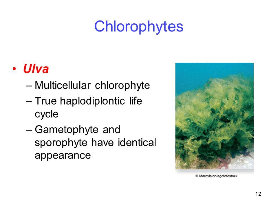 12 Chlorophytes Ulva –Multicellular chlorophyte –True haplodiplontic life cycle –Gametophyte and sporophyte have identical appearance