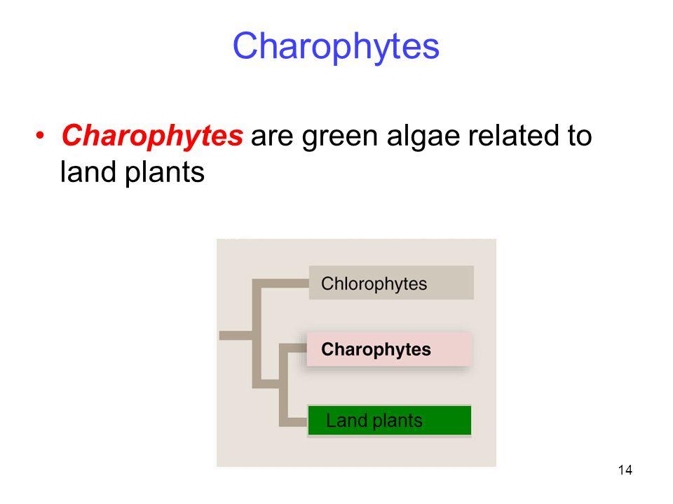 14 Land plants Charophytes Charophytes are green algae related to land plants