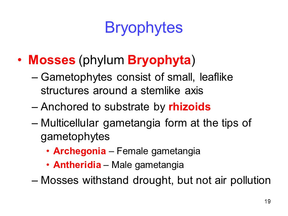 19 Bryophytes Mosses (phylum Bryophyta) –Gametophytes consist of small, leaflike structures around a stemlike axis –Anchored to substrate by rhizoids