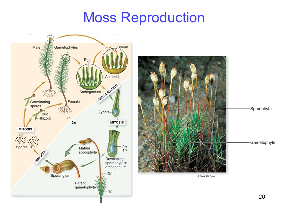 20 Moss Reproduction