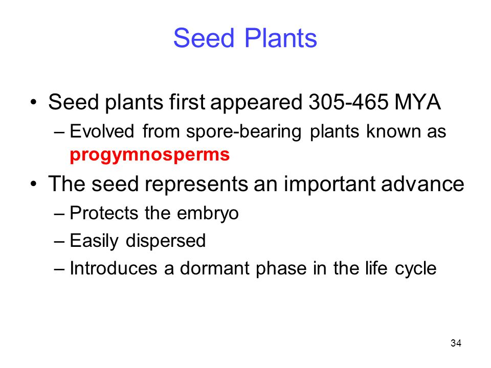 34 Seed Plants Seed plants first appeared 305-465 MYA –Evolved from spore-bearing plants known as progymnosperms The seed represents an important adva