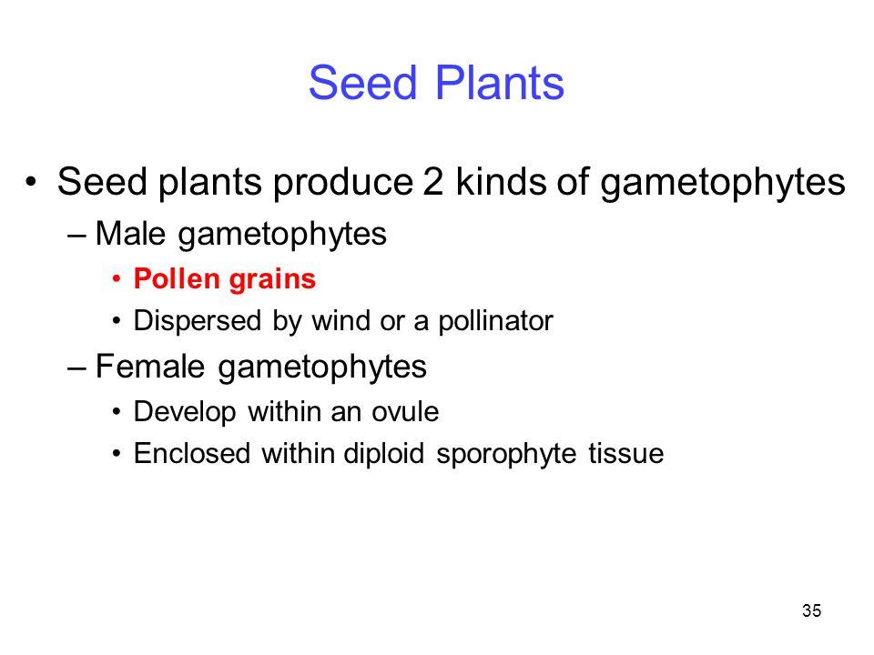 35 Seed Plants Seed plants produce 2 kinds of gametophytes –Male gametophytes Pollen grains Dispersed by wind or a pollinator –Female gametophytes Dev