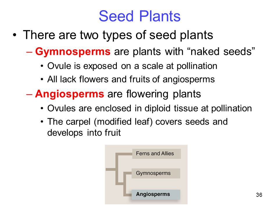 """36 There are two types of seed plants –Gymnosperms are plants with """"naked seeds"""" Ovule is exposed on a scale at pollination All lack flowers and fruit"""