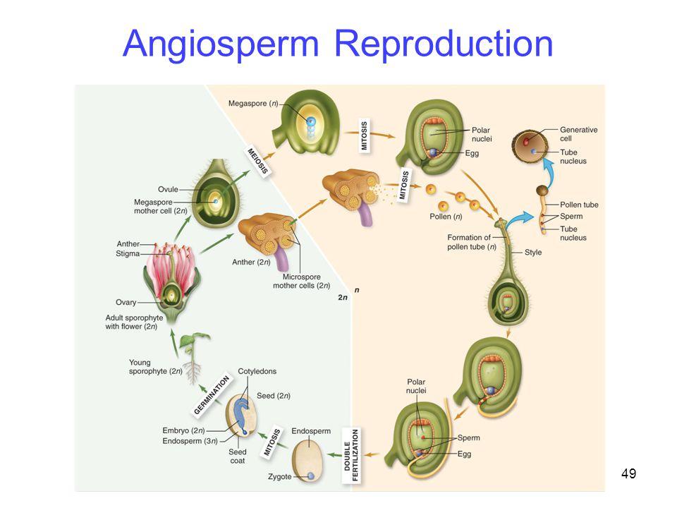 49 Angiosperm Reproduction