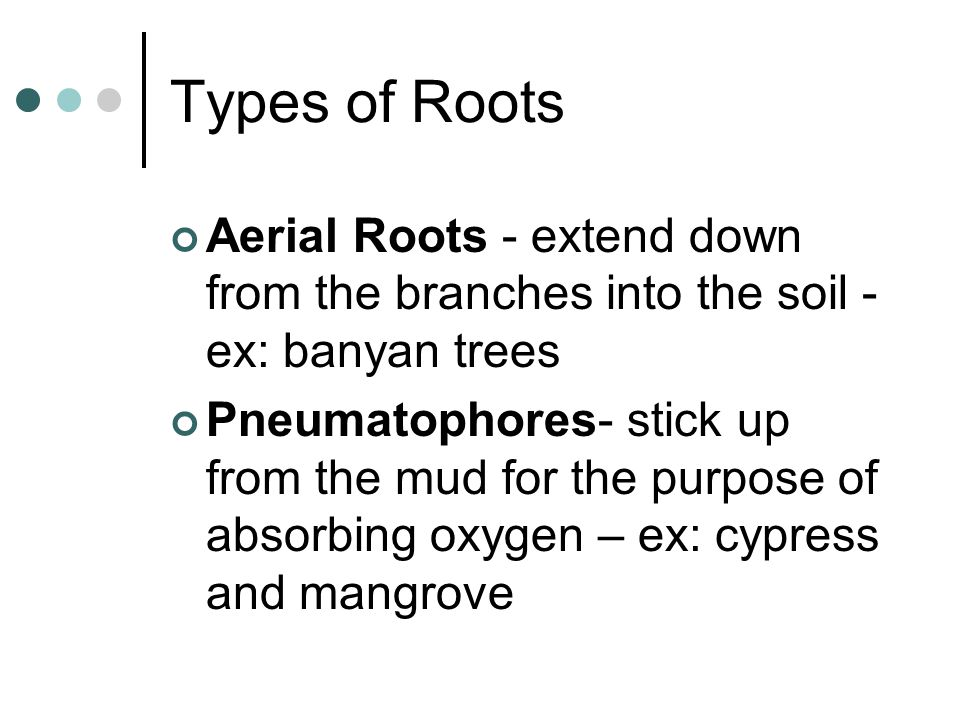 Types of Roots Aerial Roots - extend down from the branches into the soil - ex: banyan trees Pneumatophores- stick up from the mud for the purpose of