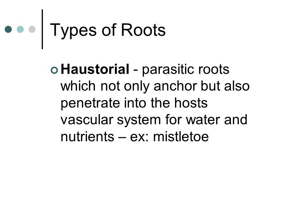 Types of Roots Haustorial - parasitic roots which not only anchor but also penetrate into the hosts vascular system for water and nutrients – ex: mist