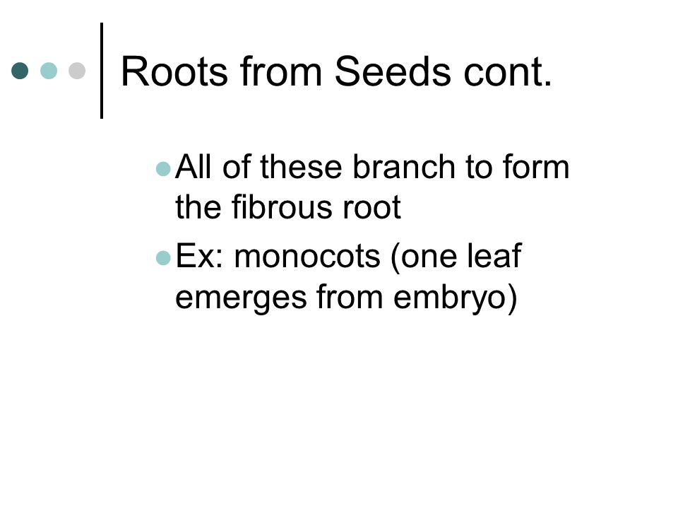 Roots from Seeds cont. All of these branch to form the fibrous root Ex: monocots (one leaf emerges from embryo)