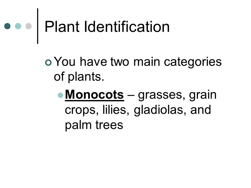 Plant Identification You have two main categories of plants. Monocots – grasses, grain crops, lilies, gladiolas, and palm trees