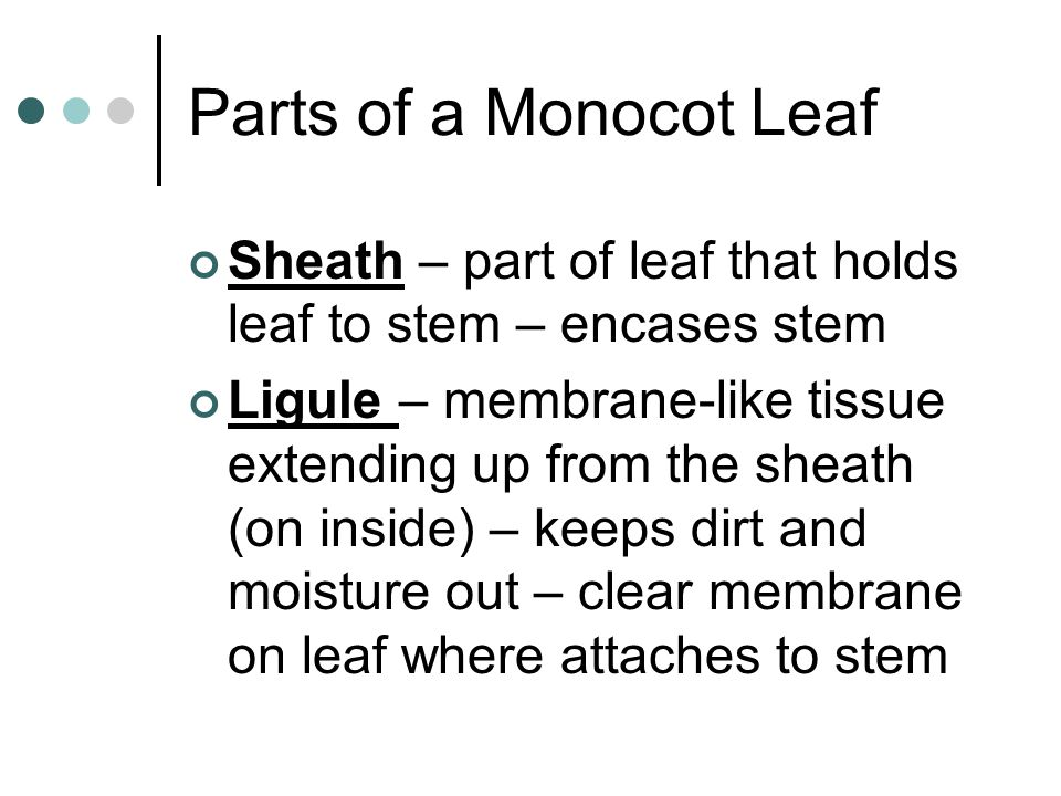 Parts of a Monocot Leaf Sheath – part of leaf that holds leaf to stem – encases stem Ligule – membrane-like tissue extending up from the sheath (on in