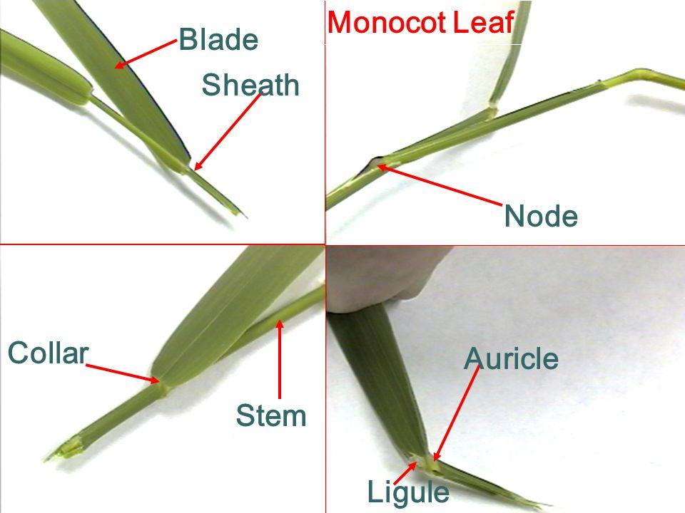 Sheath Blade Node Collar Auricle Ligule Stem Monocot Leaf