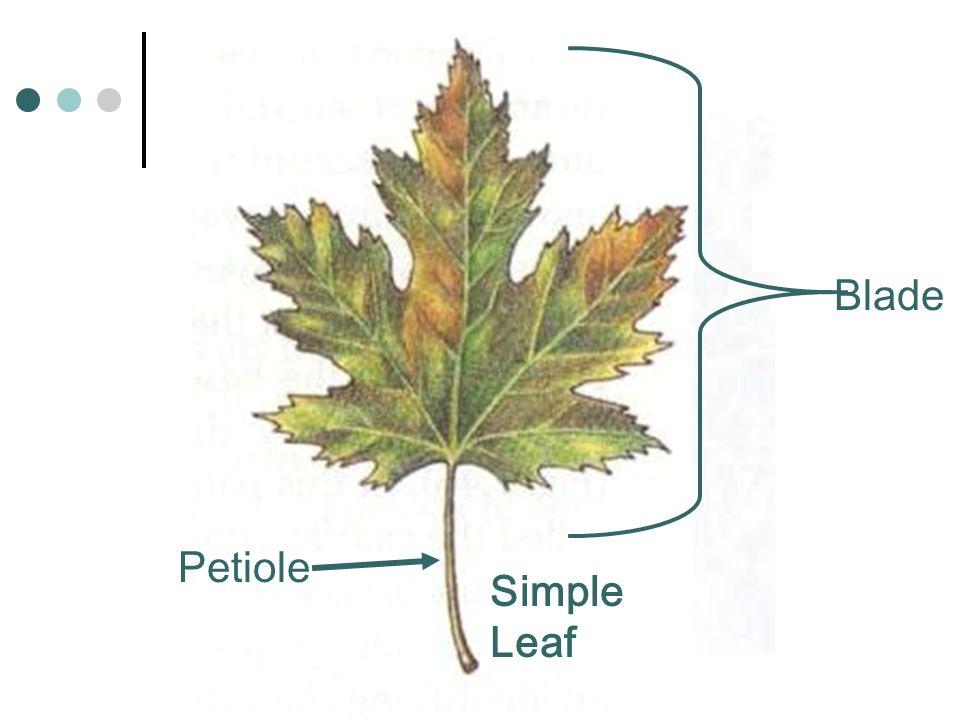 Simple Leaf Blade Petiole