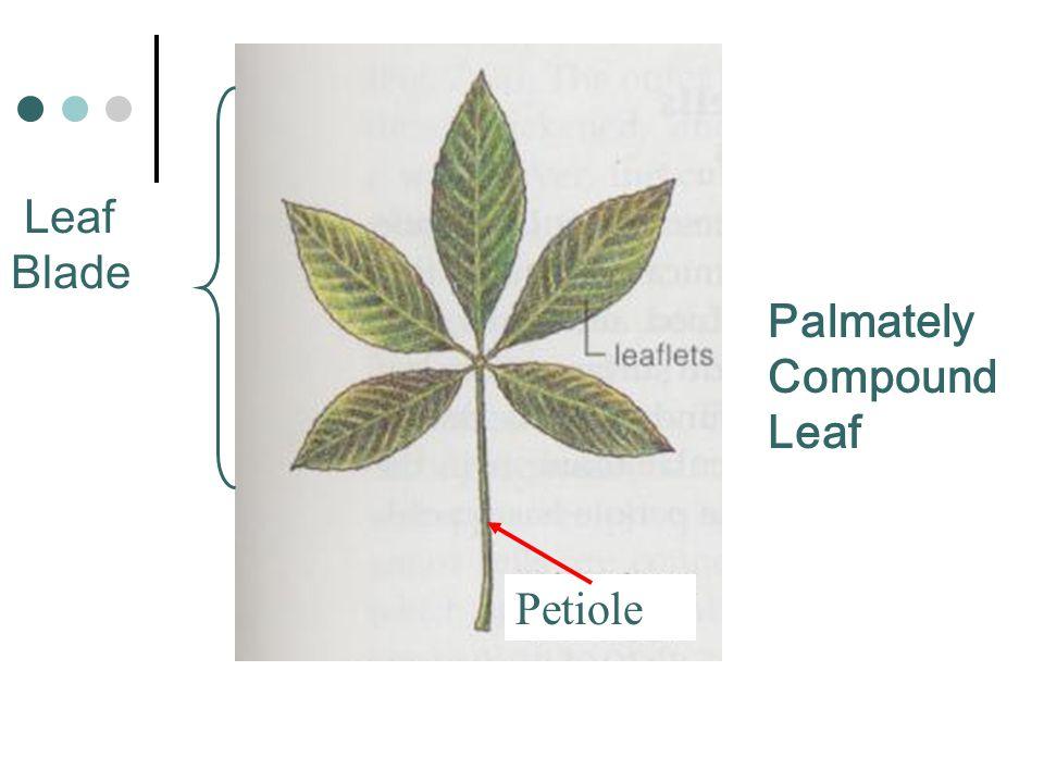 Palmately Compound Leaf Leaf Blade Petiole