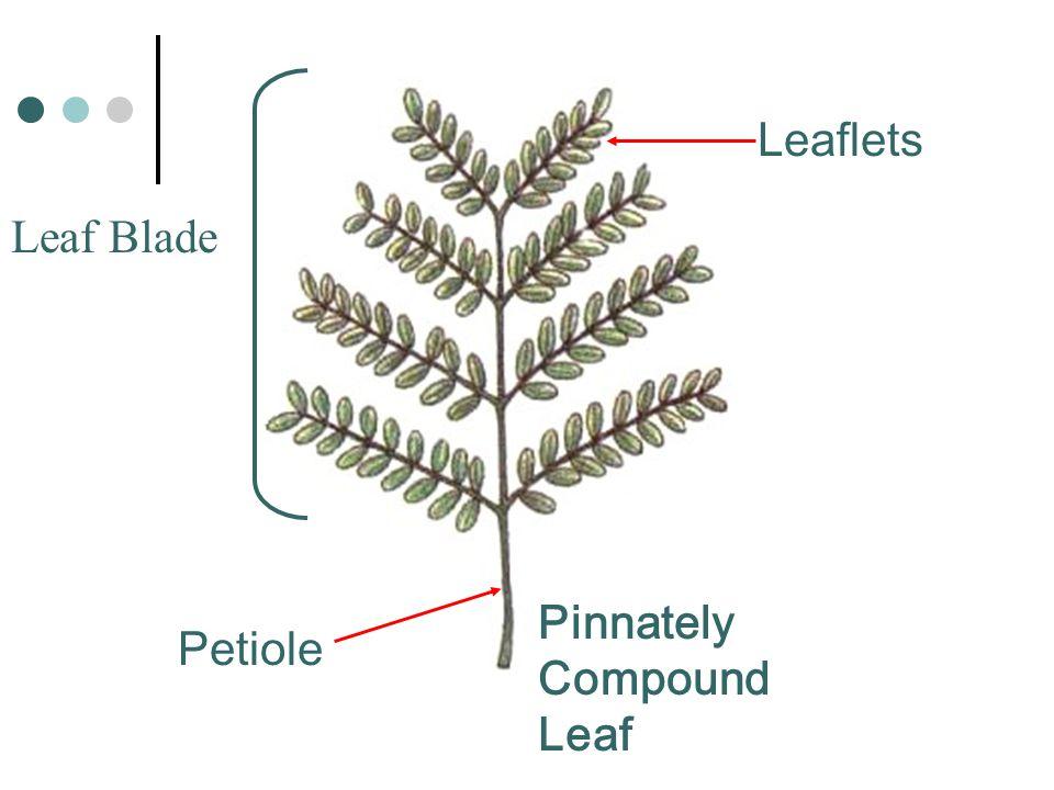 Pinnately Compound Leaf Leaf Blade Leaflets Petiole