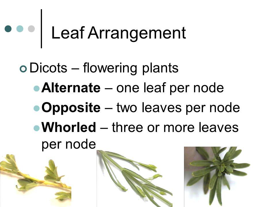 Leaf Arrangement Dicots – flowering plants Alternate – one leaf per node Opposite – two leaves per node Whorled – three or more leaves per node