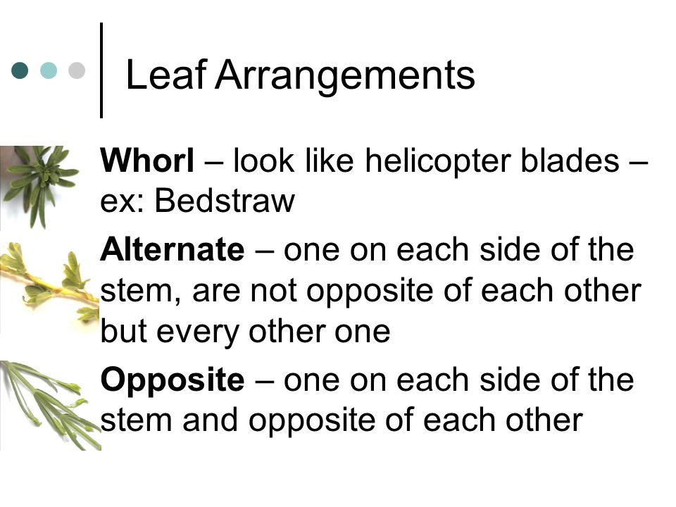 Leaf Arrangements Whorl – look like helicopter blades – ex: Bedstraw Alternate – one on each side of the stem, are not opposite of each other but ever