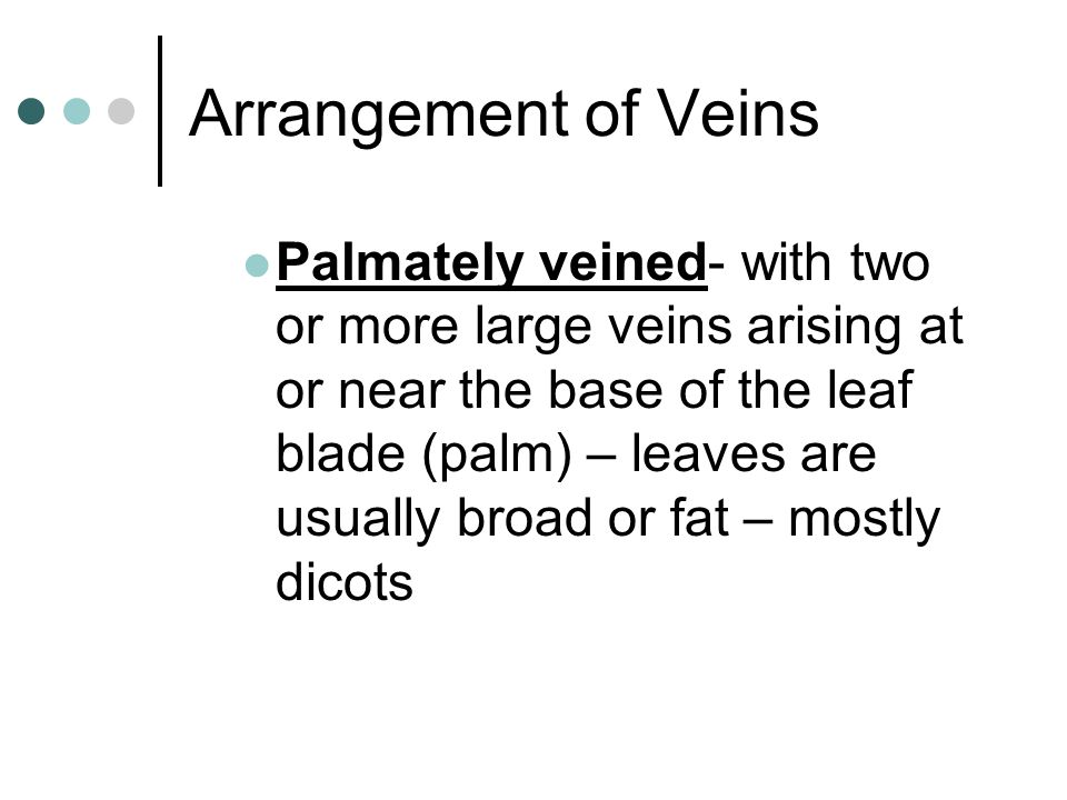 Arrangement of Veins Palmately veined- with two or more large veins arising at or near the base of the leaf blade (palm) – leaves are usually broad or
