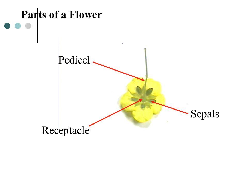Sepals Receptacle Pedicel Parts of a Flower