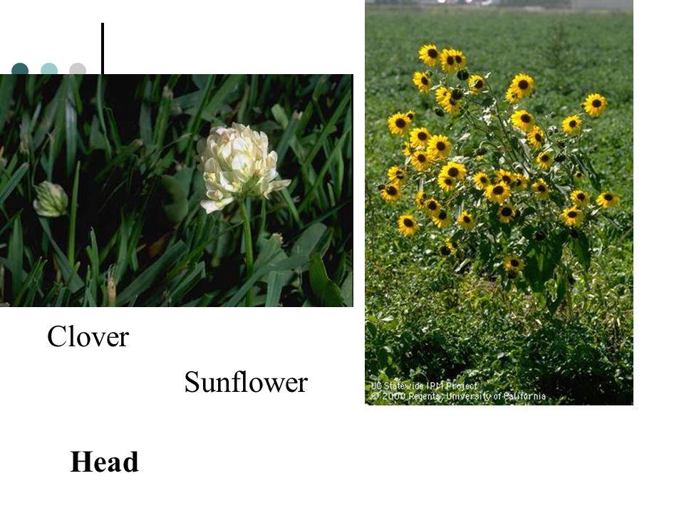 Head Clover Sunflower