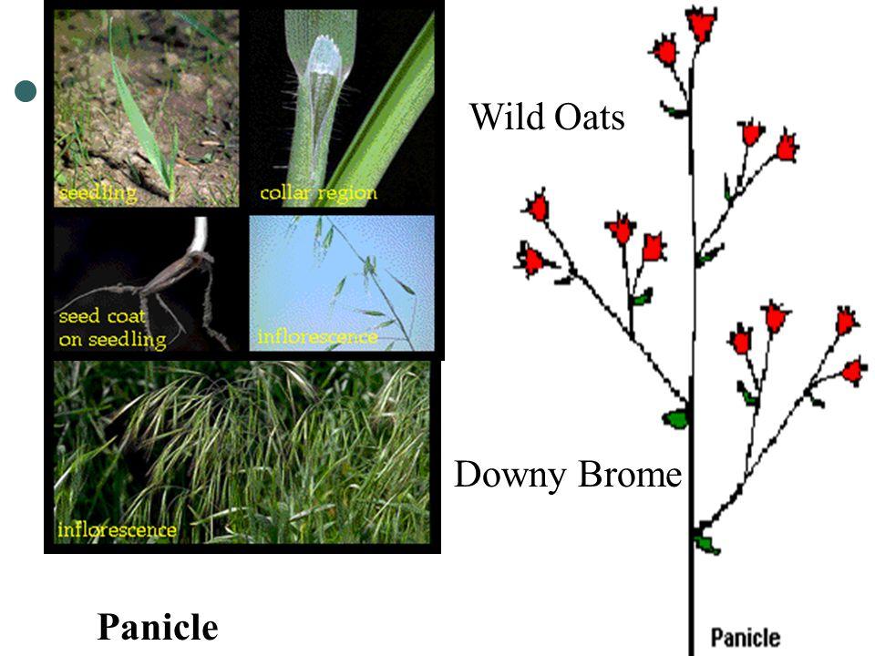 Wild Oats Downy Brome Panicle