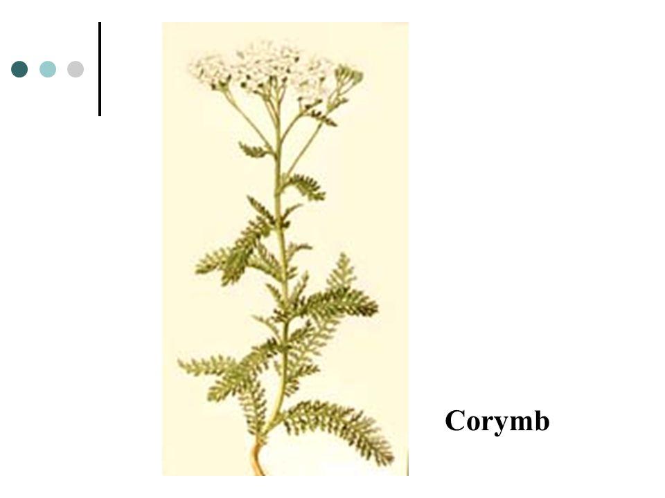Corymb