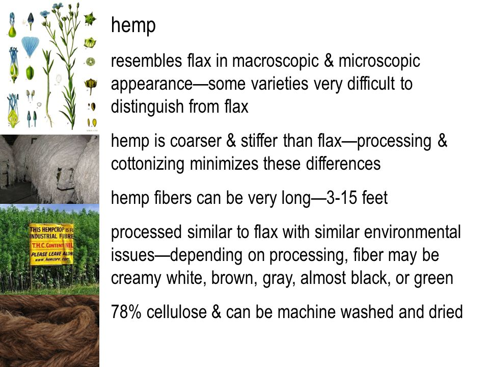 hemp resembles flax in macroscopic & microscopic appearance—some varieties very difficult to distinguish from flax hemp is coarser & stiffer than flax