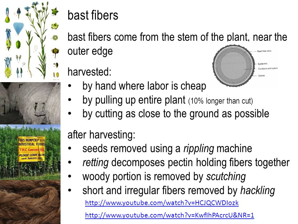 bast fibers come from the stem of the plant, near the outer edge harvested: by hand where labor is cheap by pulling up entire plant (10% longer than cut) by cutting as close to the ground as possible after harvesting: seeds removed using a rippling machine retting decomposes pectin holding fibers together woody portion is removed by scutching short and irregular fibers removed by hackling http://www.youtube.com/watch?v=HCJQCWDIozk http://www.youtube.com/watch?v=KwfIhPAcrcU&NR=1