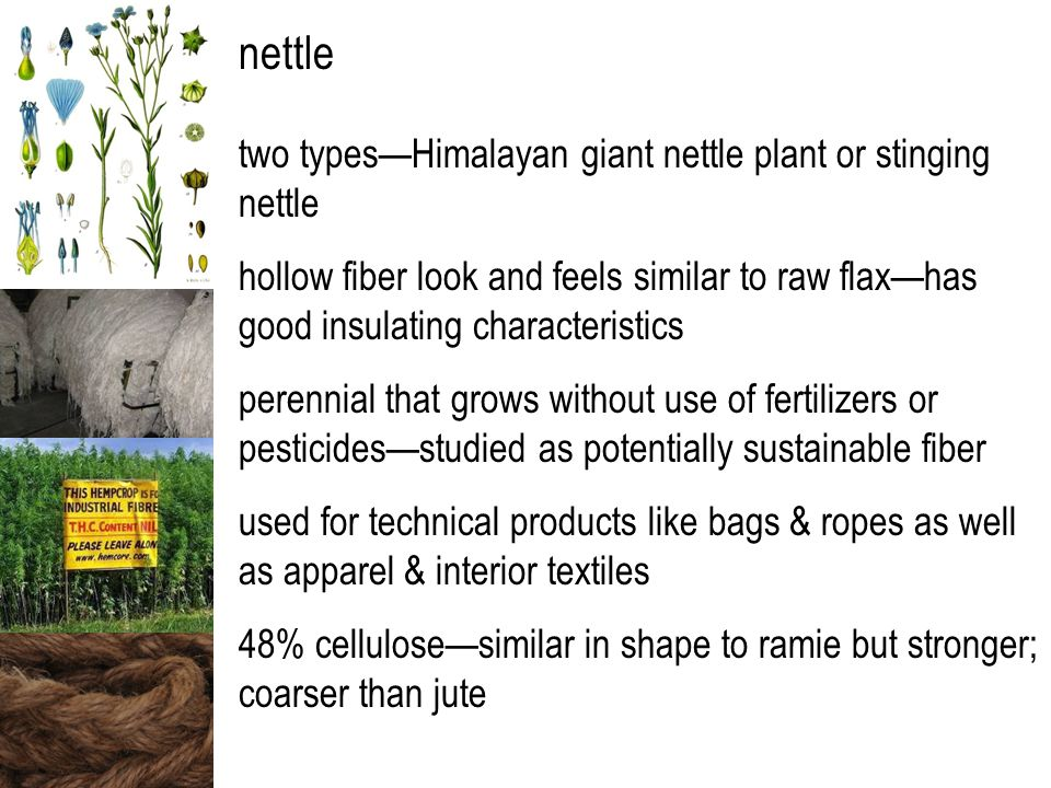 nettle two types—Himalayan giant nettle plant or stinging nettle hollow fiber look and feels similar to raw flax—has good insulating characteristics perennial that grows without use of fertilizers or pesticides—studied as potentially sustainable fiber used for technical products like bags & ropes as well as apparel & interior textiles 48% cellulose—similar in shape to ramie but stronger; coarser than jute