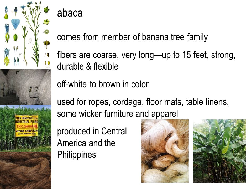 abaca comes from member of banana tree family fibers are coarse, very long—up to 15 feet, strong, durable & flexible off-white to brown in color used for ropes, cordage, floor mats, table linens, some wicker furniture and apparel produced in Central America and the Philippines