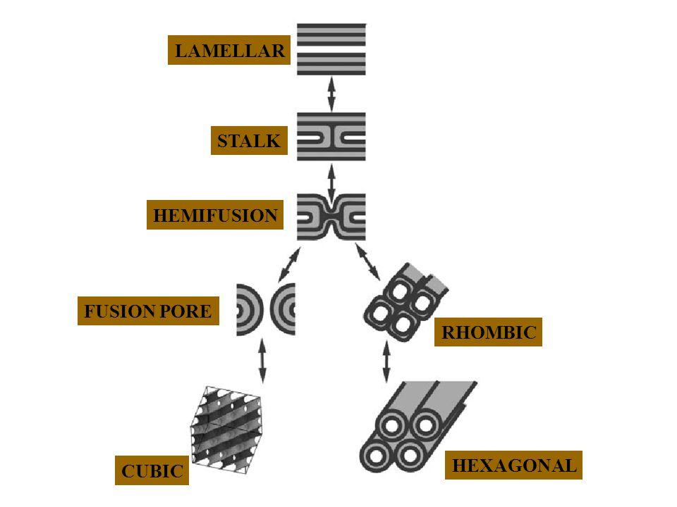 LAMELLAR STALK HEMIFUSION FUSION PORE RHOMBIC CUBIC HEXAGONAL