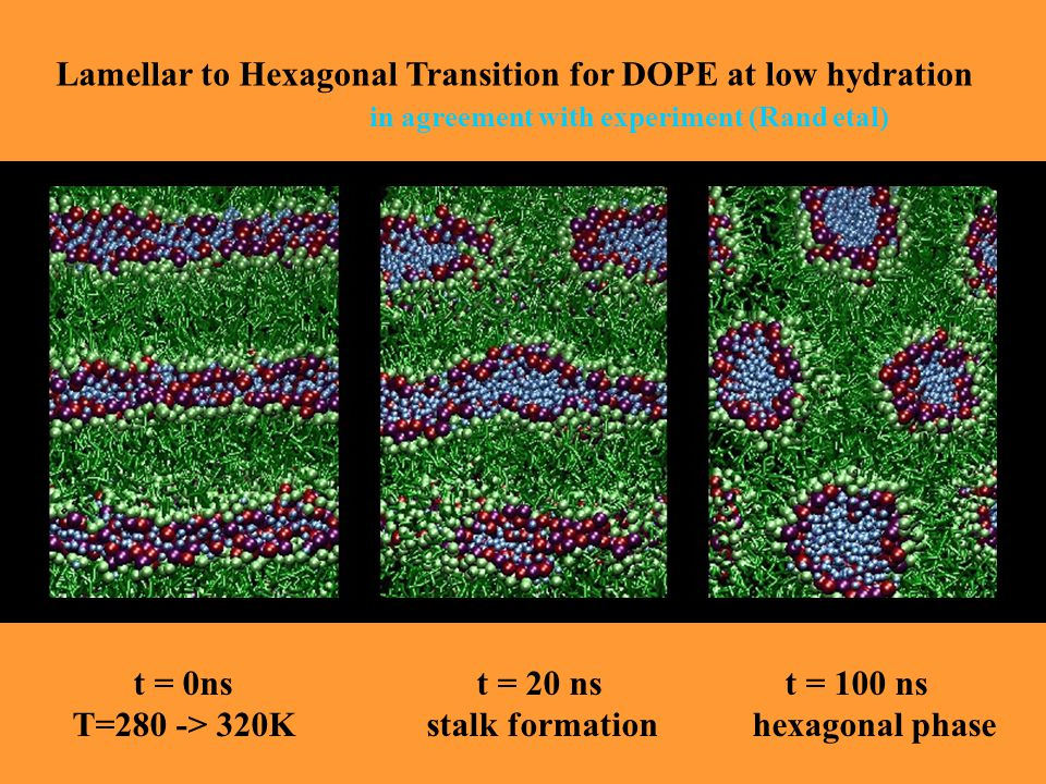 Lamellar to Hexagonal Transition for DOPE at low hydration in agreement with experiment (Rand etal) t = 0ns t = 20 ns t = 100 ns T=280 -> 320K stalk formation hexagonal phase