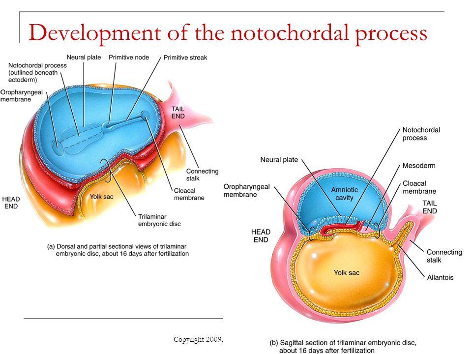 Copyright 2009, John Wiley & Sons, Inc. Development of the notochordal process