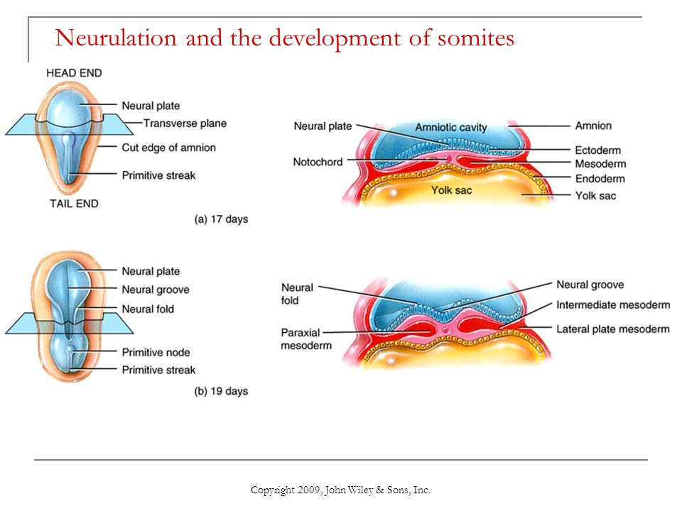 Copyright 2009, John Wiley & Sons, Inc. Neurulation and the development of somites