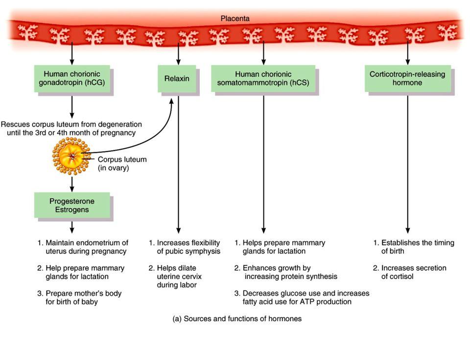 Hormones during pregnancy