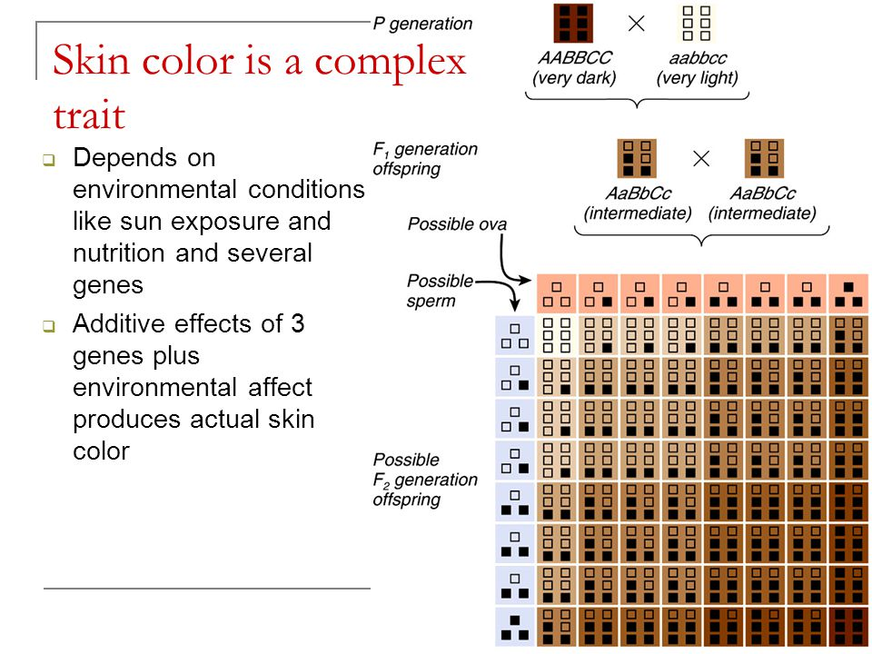 Skin color is a complex trait  Depends on environmental conditions like sun exposure and nutrition and several genes  Additive effects of 3 genes pl