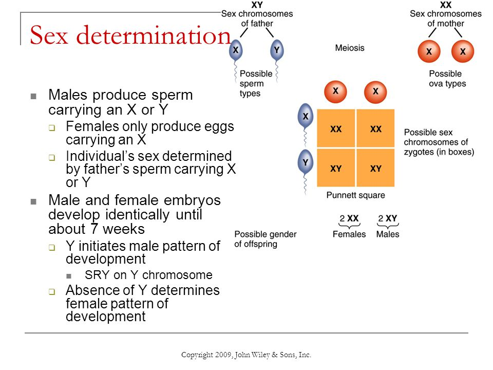 Copyright 2009, John Wiley & Sons, Inc. Sex determination Males produce sperm carrying an X or Y  Females only produce eggs carrying an X  Individua