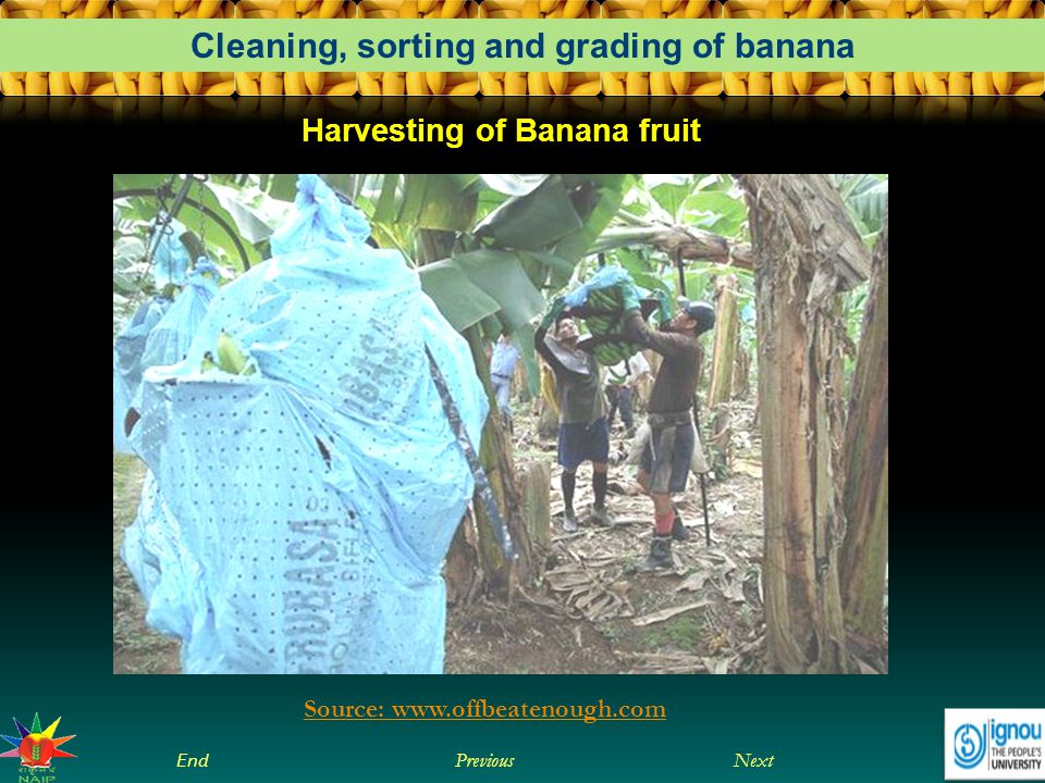 Next End Previous Cleaning, sorting and grading of banana Source: www.offbeatenough.com Harvesting of Banana fruit