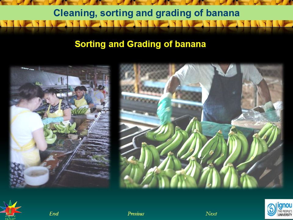 Next End Previous Cleaning, sorting and grading of banana Sorting and Grading of banana