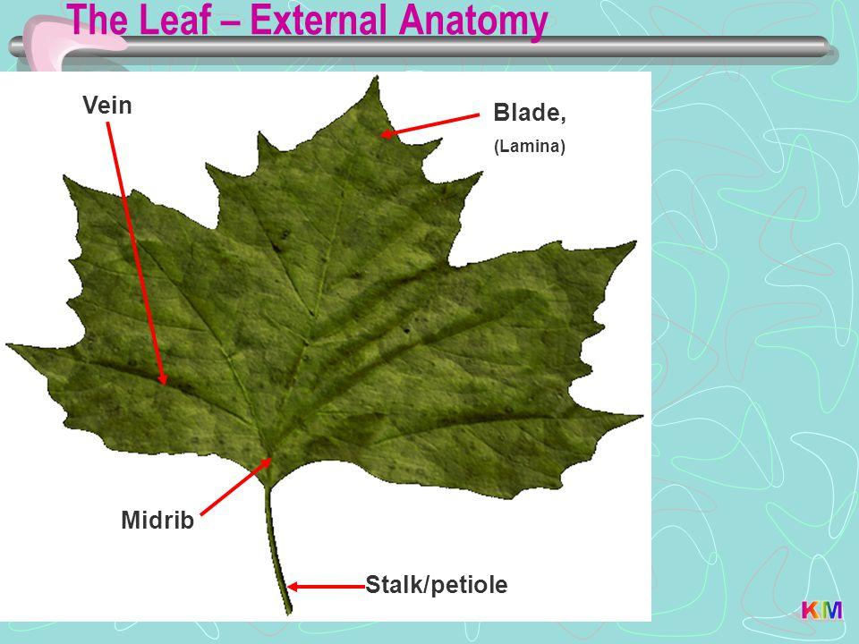 The Leaf – External Anatomy Stalk/petiole Vein Blade, (Lamina) Midrib