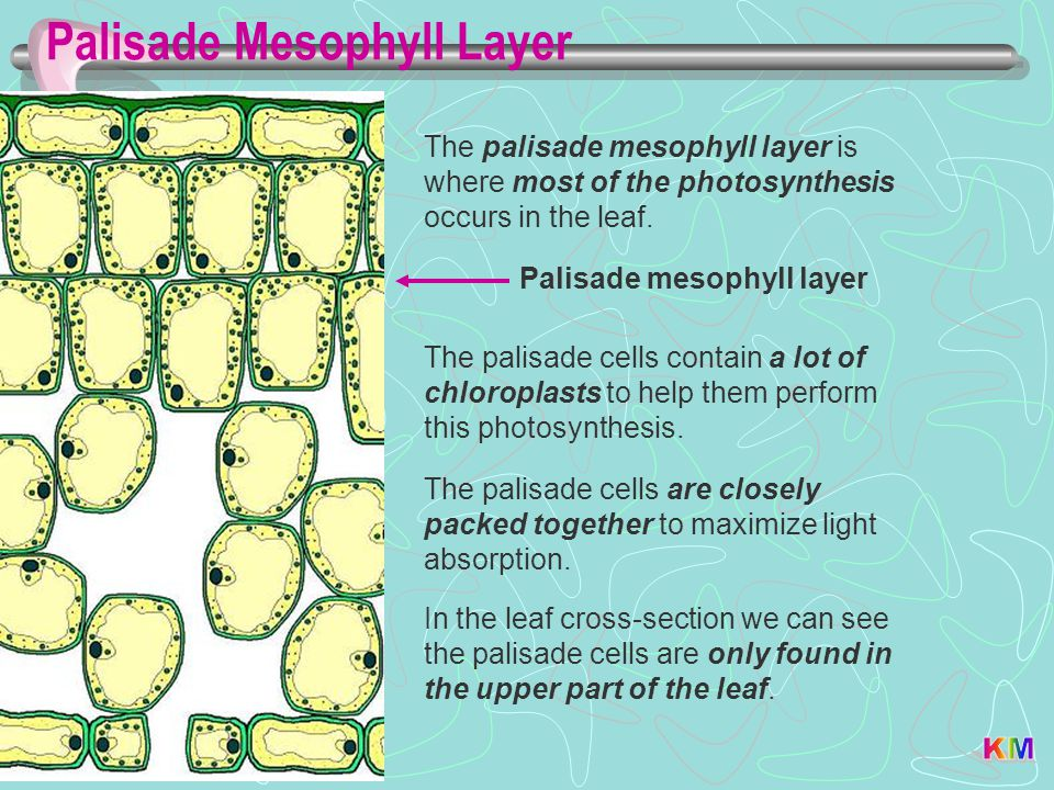 Palisade Mesophyll Layer Palisade mesophyll layer The palisade mesophyll layer is where most of the photosynthesis occurs in the leaf. The palisade ce