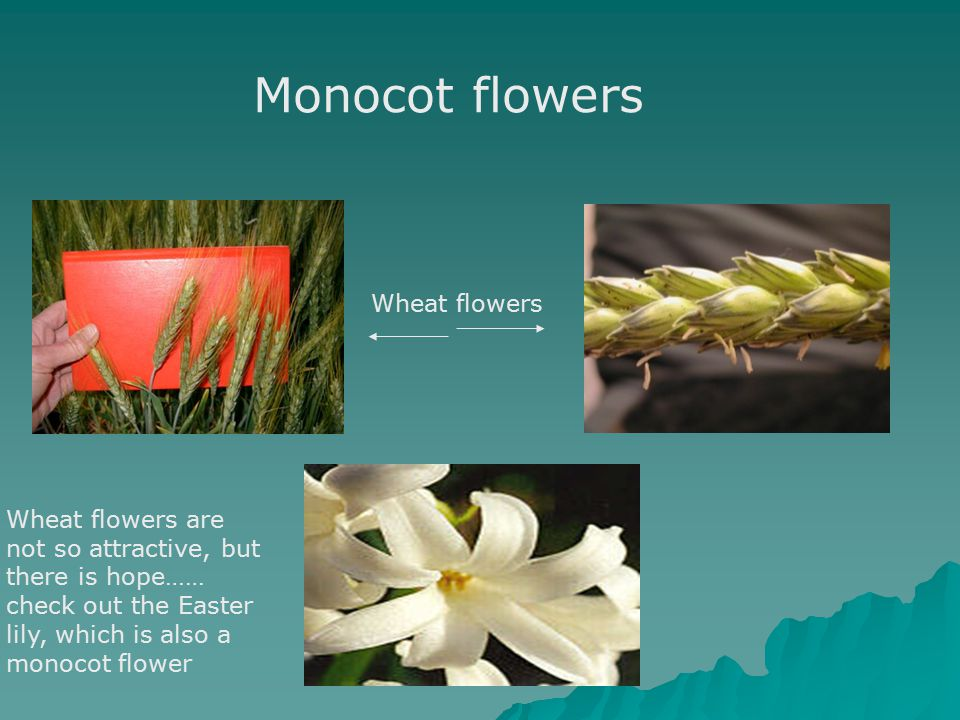 Monocot flowers Wheat flowers Wheat flowers are not so attractive, but there is hope…… check out the Easter lily, which is also a monocot flower